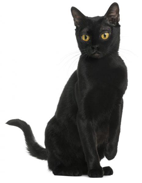 black bombay cat - american bombay cat