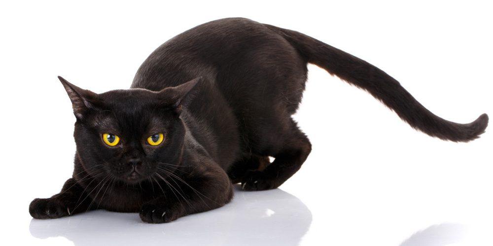 bombay cat - black cat