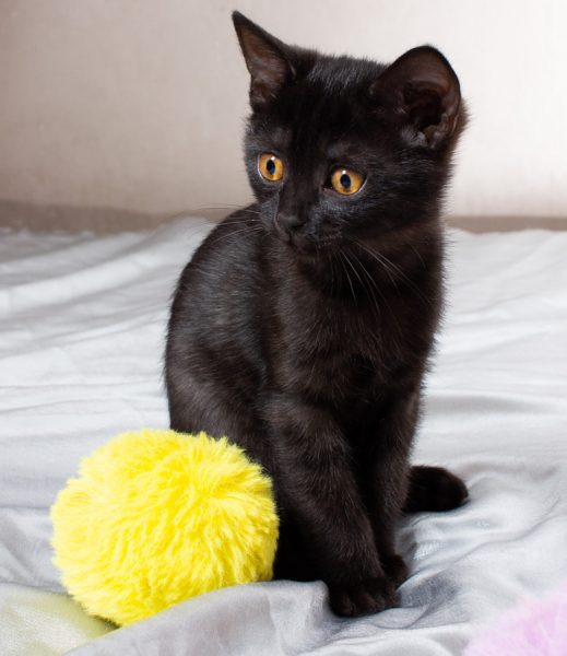 bombay cat kitten - black cats