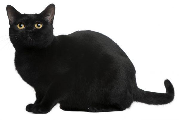 bombay cats - bombay cat breed