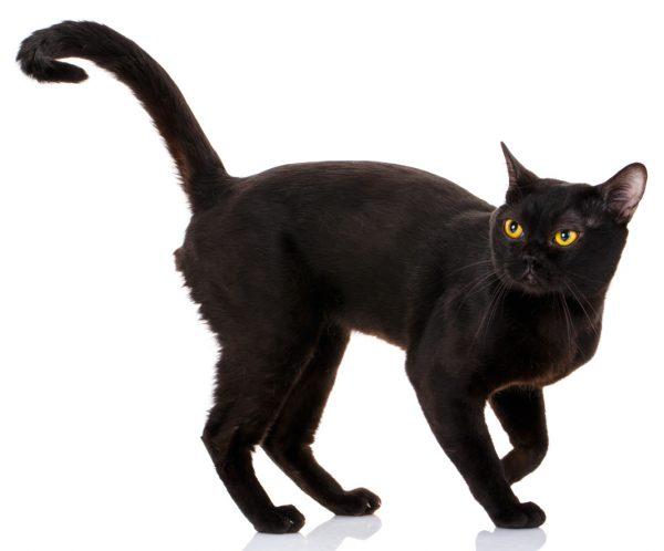 british bombay cat - bombay cat personality