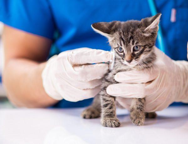 cat anemia treatment - flea anemia in cats