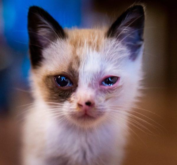 cat conjunctivitis treatment over the counter - conjunctivitis cats