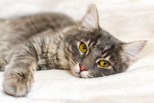 causes of anemia in cats - toxins that causes anemia in cats