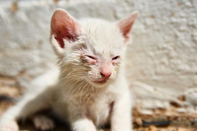 conjunctivitis in cats - cat eye conjunctivitis