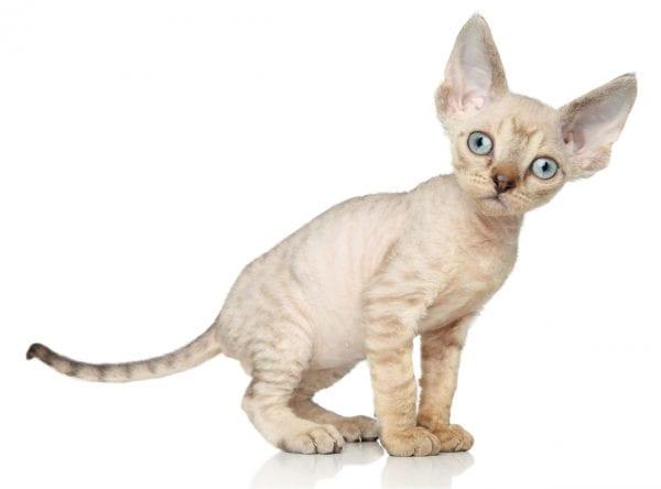 devon rex kitten - devon rex kittens