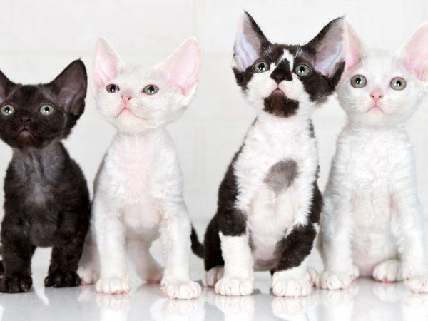 devon rex kittens - devon rex kitten
