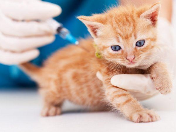 feline leukemia - feline leukemia vaccine