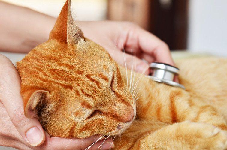 fiv - feline immunodeficiency virus