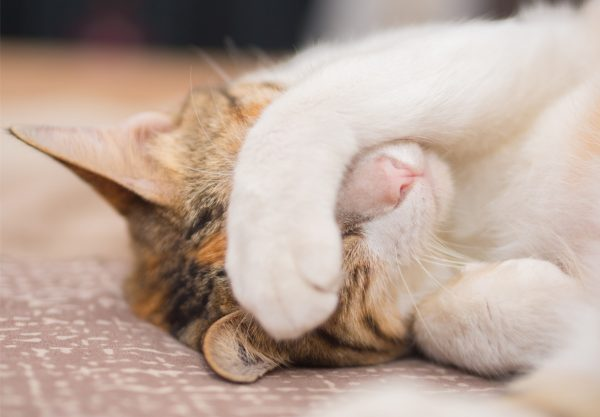 heartworms in cats - cat heartworm symptoms