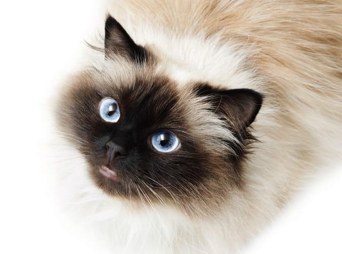 himalayan cat - himalayan cats