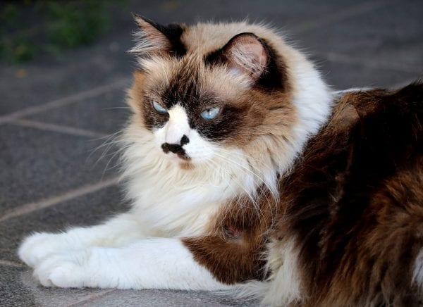 himalayan cats - himalayan persian cat