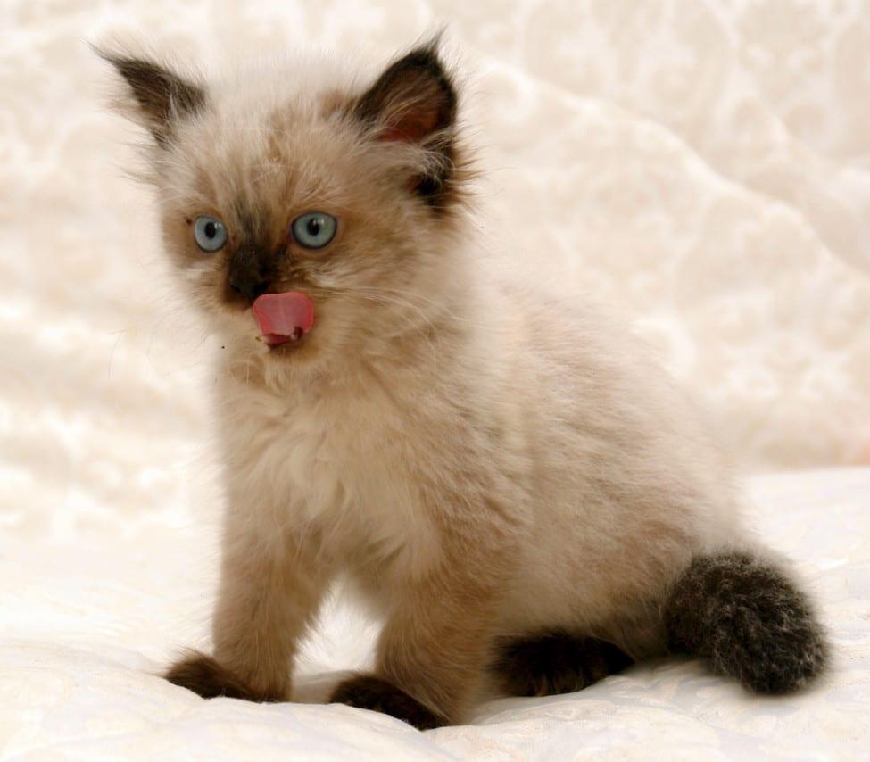 himalayan kittens - himalayan kitten