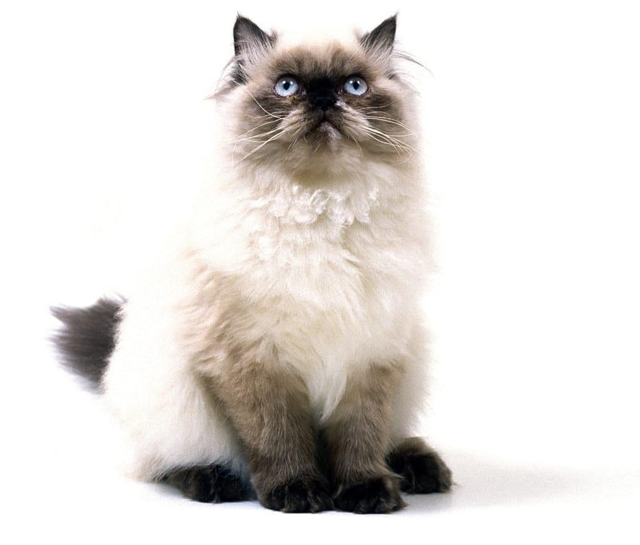 himalayan - himalayan siamese cat