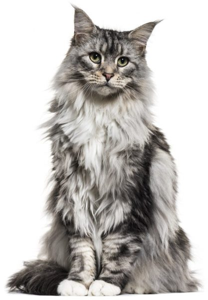 Grey Maine Coon Size