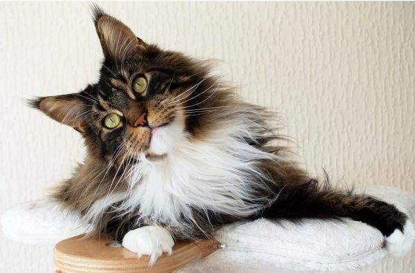 Maine Coon Cat for Sale Rescue Adoption