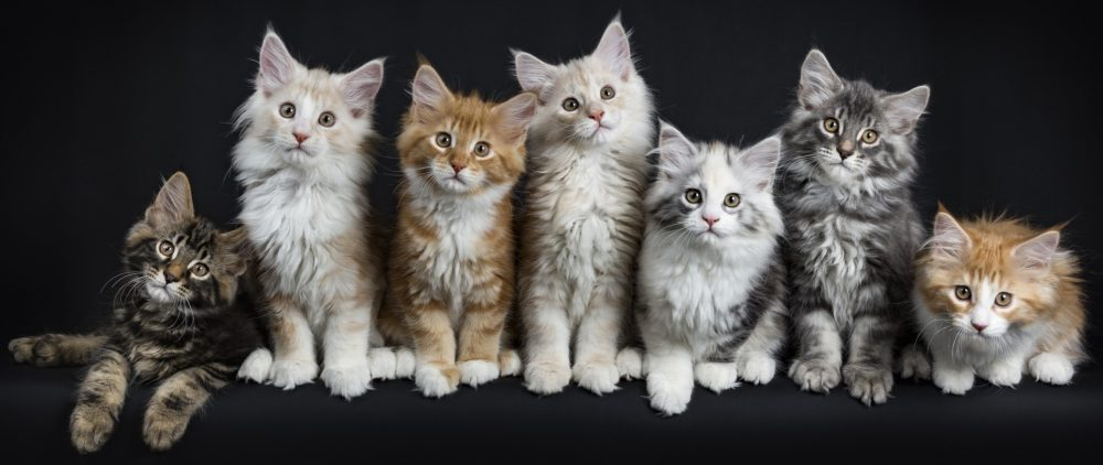 Maine Coon Kittens for Sale Rescue Adoption
