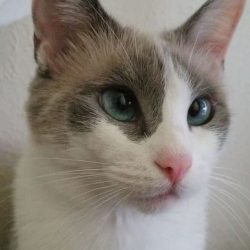 meowwiki princess calico july 2020 cute cat picture