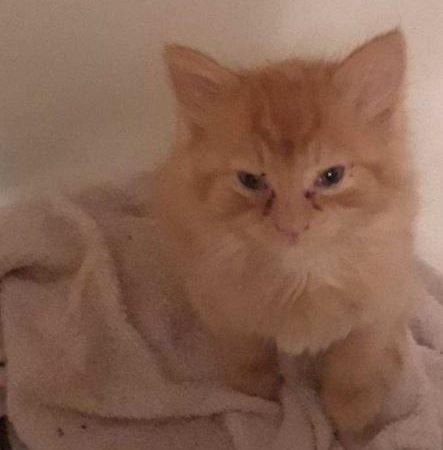 orange tabby ginger cat kitten rescue nov 2020