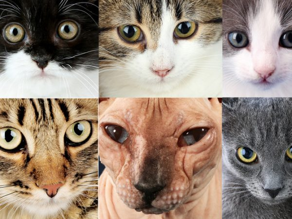popular cat breeds - most popular cat breeds