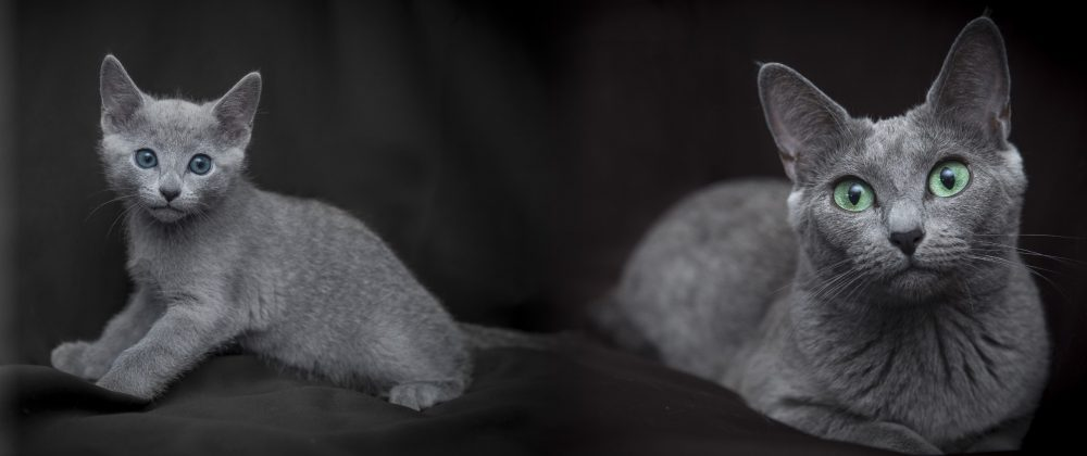 Russian Blue Cat and Kittens