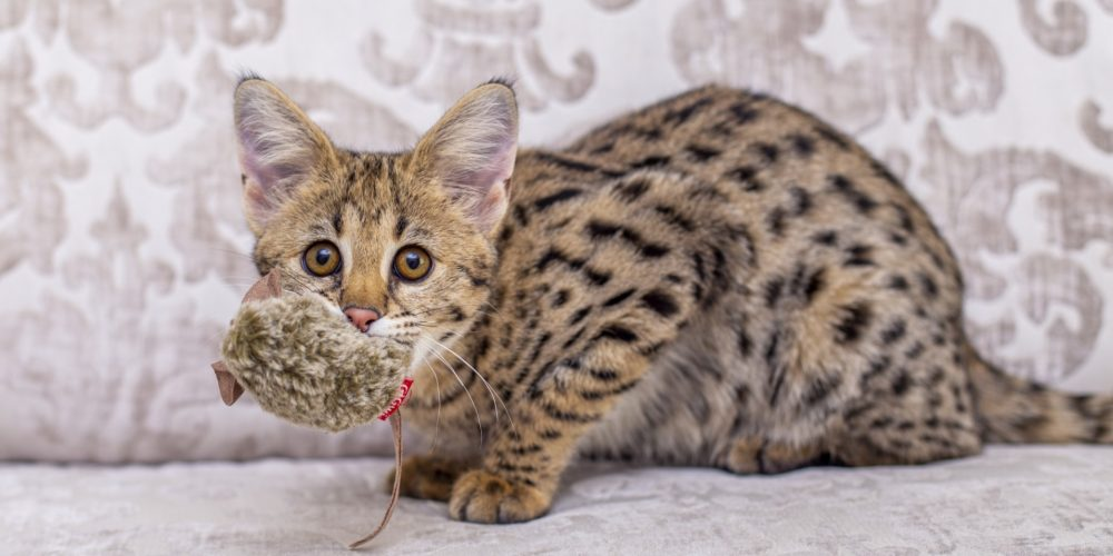 Savannah Serval Cat Mix