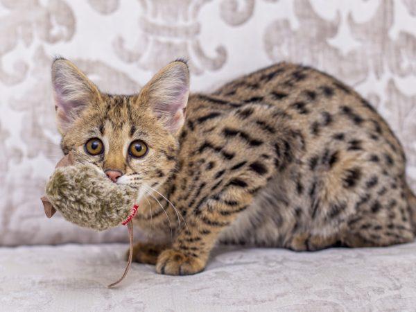 Savannah Serval Cat Mix