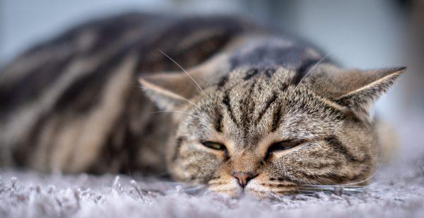 signs of feline leukemia - what is feline leukemia