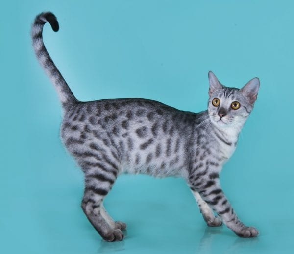Silver Savannah Cat