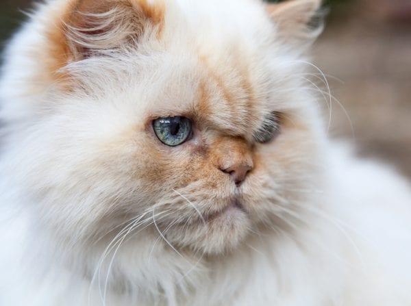 white himalayan cat - himalayan cat breeds