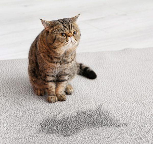 why do cats spray - female cat spraying